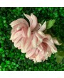 Хризантема Шар, розовая, 60 см