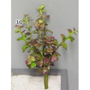Седум Spurium бордовый, 14 см