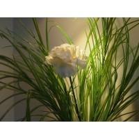 Гвоздика среди трав