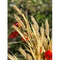 Пшеница,  3 ветки на стебле, 76 см