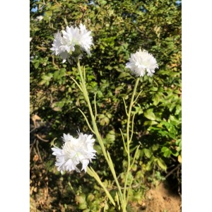 Василек белый, 3 цветка/1 куст, 60 см